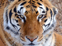 Tiger by itself in open field, closeup. Tiger by itself, with beautiful striped fur stock images
