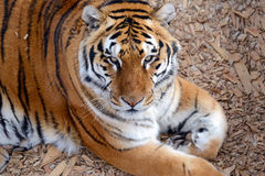 Tiger by itself in open field, closeup. Tiger by itself, with beautiful striped fur royalty free stock photography