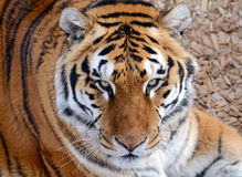 Tiger by itself in open field, closeup. Tiger by itself, with beautiful striped fur stock image