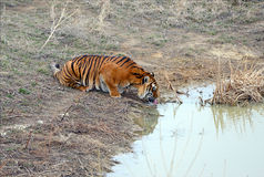 Tiger by itself in open field drinking water. With beautiful striped fur stock photos