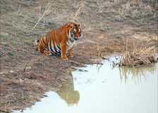 Tiger by itself in open field drinking water. With beautiful striped fur royalty free stock image
