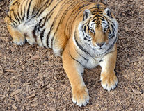 Tiger by itself in open field Stock Image