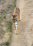 Tiger by itself in open field Royalty Free Stock Photography