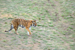 Tiger by itself in open field Royalty Free Stock Images