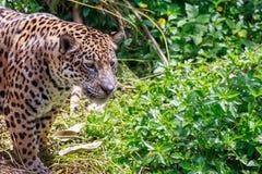 Tiger jaguar in forest. Tiger jaguar looking something with fierce eyes royalty free stock image