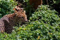 Tiger jaguar in forest. Tiger jaguar looking something with fierce eyes royalty free stock images