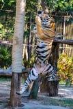Tiger Jump royaltyfri bild