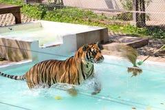 Tiger Jumping At ein Bananen-Blatt stockfotos