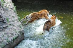 Tiger Jumping on Tiger in Water. Young female Siberian tiger jumping on sister in water Royalty Free Stock Images