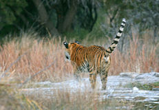 Tiger jumping in the water Royalty Free Stock Photos