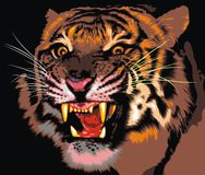 Tiger of the jungle Stock Photography