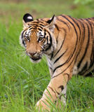 Tiger in jungle Royalty Free Stock Images