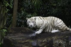 White Bengal tiger in a jungle. Tiger in a jungle. White Bengal tiger on tree trunk with forest on background royalty free stock photos