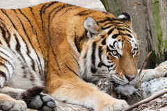 Tiger with just born Cub Royalty Free Stock Photos