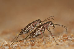 Tiger-Käfer (Cicindelephilia) Lizenzfreie Stockfotos