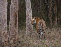 TIGER. FROM KABINI NAGARHOLE NATIONAL PARK Royalty Free Stock Photos