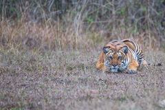 Tiger in killing mode. Bengal Tiger sighted in western ghats of India Royalty Free Stock Image