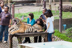 Tiger Kingdom. CHIANG MAI, THAILAND - NOVEMBER 07, 2014: Unidentified people stroking tiger in Tiger Kingdom, Thailand Royalty Free Stock Images