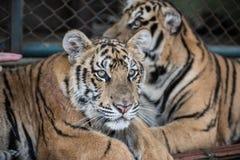 Tiger Kingdom in Chiang Mai Royalty Free Stock Photo