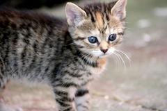 Tiger kitten Stock Images