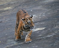 Tiger kitten Royalty Free Stock Photos