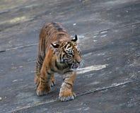 Tiger kitten. Cute malayan tiger kitten on the grey background Royalty Free Stock Photos