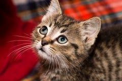 Tiger Kitten Foto de archivo libre de regalías