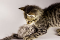 Tiger kitten hunting mouse Stock Image