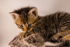 Tiger kitten hunting mouse Royalty Free Stock Image