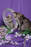 Tiger Kitten looking into Mirror Stock Photo