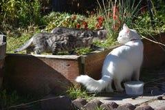 Tiger Kittens selvagem que desengaça Cat Goddess branca a mais torturado nomeou Alegria fotografia de stock royalty free