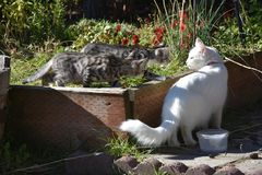 Tiger Kittens selvaggio che insegue Cat Goddess bianca irritata ha nominato la Joy fotografia stock libera da diritti