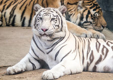 Tiger laid down looking at you Stock Photo
