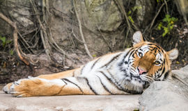 Tiger laid down looking at you Royalty Free Stock Images