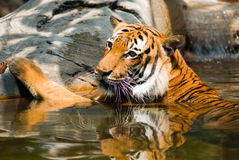 Tiger in lake Royalty Free Stock Photos