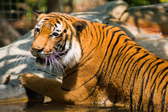 Tiger in lake Royalty Free Stock Images