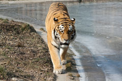 Tiger between land and ice Stock Photo