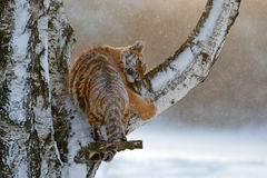 Tiger in the larch tree. Tiger in wild winter nature.  Amur tiger running in the snow. Action wildlife scene, danger animal. Cold Stock Photos