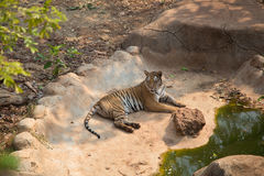 The tiger. Is the largest cat species Stock Photo