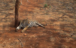 The tiger. Is the largest cat species Stock Photography