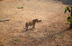 The tiger. Is the largest cat species Royalty Free Stock Photos