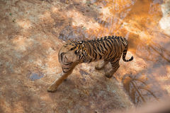 The tiger. Is the largest cat species Stock Photos