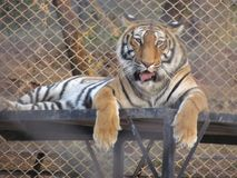 Tiger Sitting in a zoo royalty free stock photography