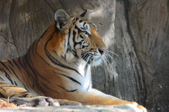 Tiger lay on rock Royalty Free Stock Photos