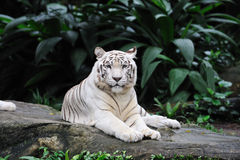 Tiger laying Royalty Free Stock Images