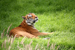 Tiger laying down royalty free stock images