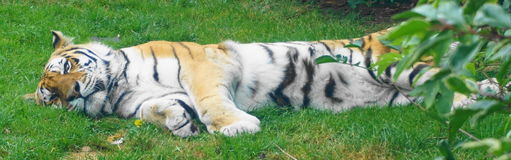 Tiger. Laying down on the grass in the sun Stock Image