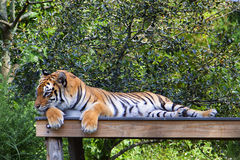 Tiger. Laying down in his habitat royalty free stock image