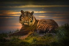 Tiger laying down resting at sunset royalty free stock photos
