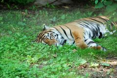 Tiger laying in the grass Stock Photography